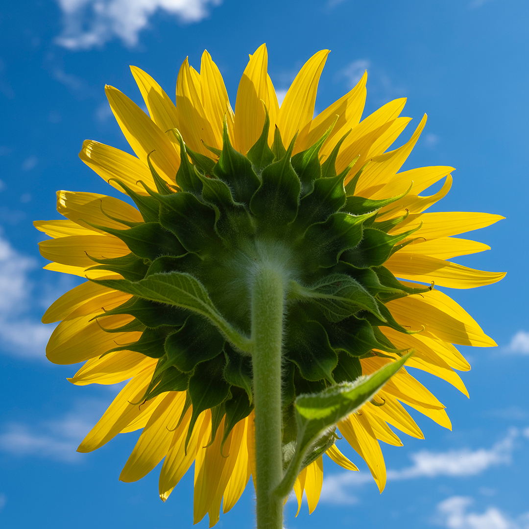 yellow sunflower on a bright sunny day
